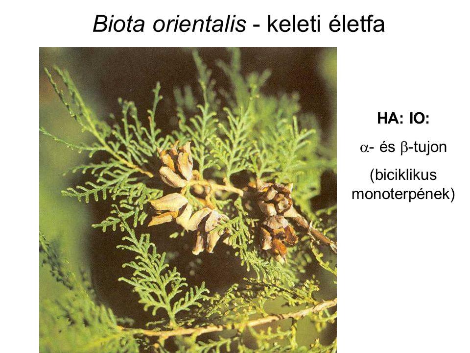Biota orientalis - keleti életfa HA: IO:  - és  -tujon (biciklikus monoterpének)