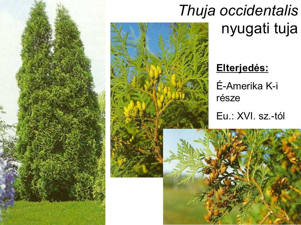 Thuja occidentalis nyugati tuja Elterjedés: É-Amerika K-i része Eu.: XVI. sz.-tól