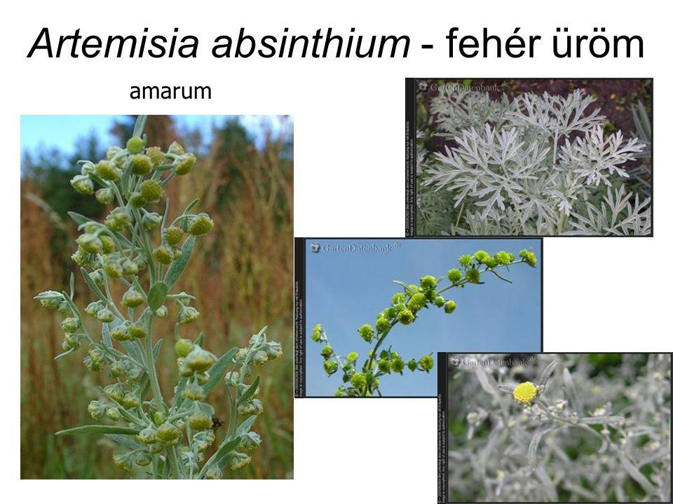 Artemisia absinthium - fehér üröm amarum