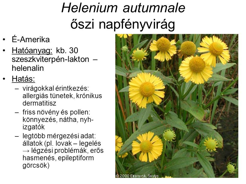 Helenium autumnale őszi napfényvirág É-Amerika Hatóanyag: kb.