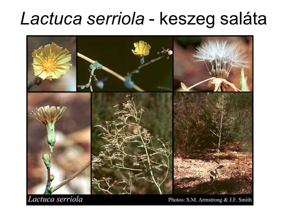 Lactuca serriola - keszeg saláta
