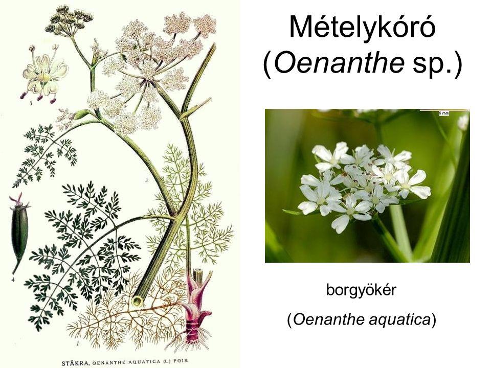 Mételykóró (Oenanthe sp.) Oenanthe crocata sáfrány mételykóró D-Eu., É-Afrika, oenantotoxin: gyökér: 1,32%, termés: 0,0009% Oenanthe fistulosa