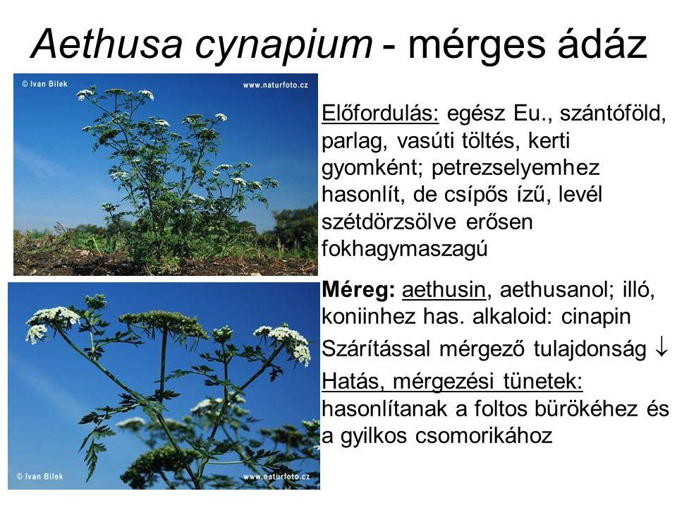 Aethusa cynapium - mérges ádáz Előfordulás: egész Eu., szántóföld, parlag, vasúti töltés, kerti gyomként; petrezselyemhez hasonlít, de csípős ízű, levél szétdörzsölve erősen fokhagymaszagú Méreg: aethusin, aethusanol; illó, koniinhez has.