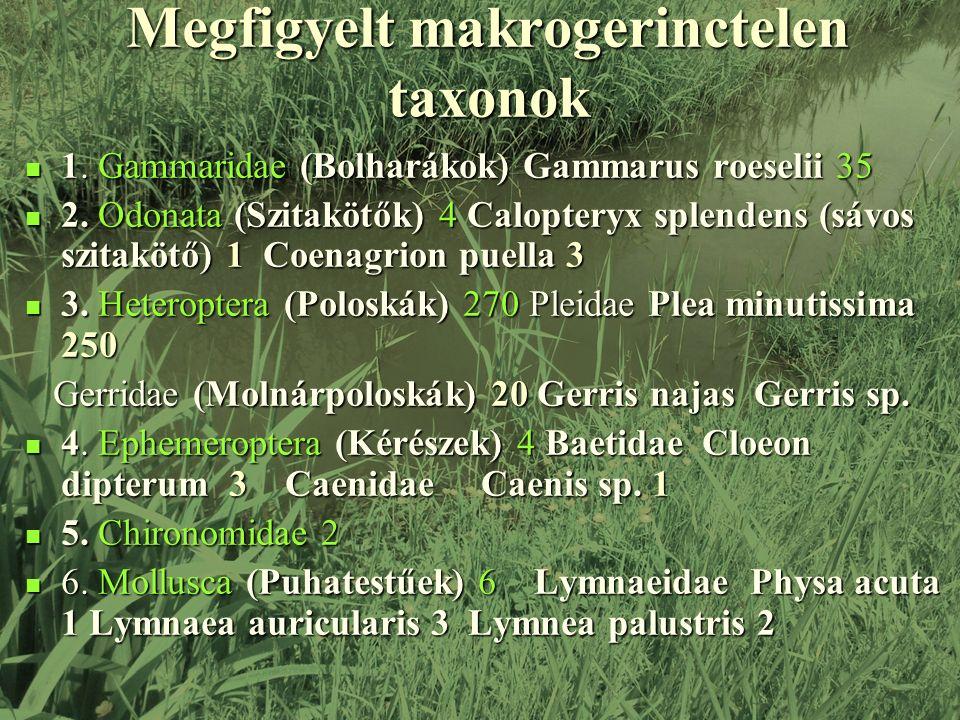 Megfigyelt makrogerinctelen taxonok 1. Gammaridae (Bolharákok) Gammarus roeselii 35 1.