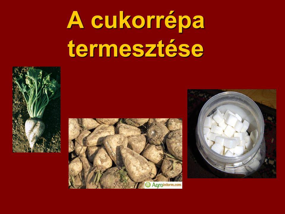 A cukorrépa termesztése