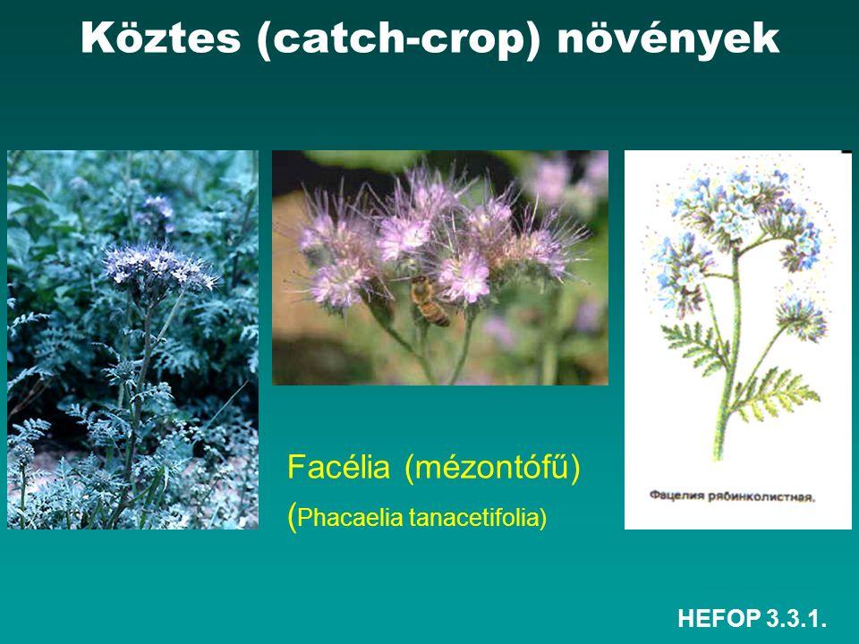 HEFOP 3.3.1. Facélia (mézontófű) ( Phacaelia tanacetifolia) Köztes (catch-crop) növények