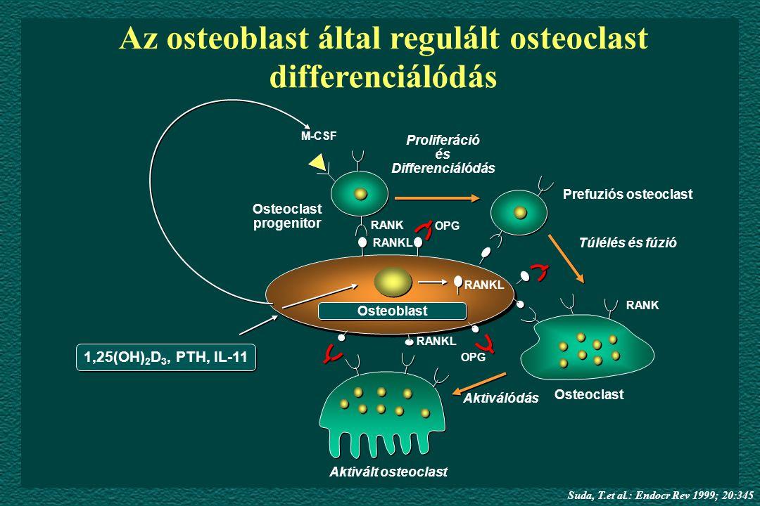 Aktivált osteoclast Osteoclast Prefuziós osteoclast Túlélés és fúzió Proliferáció és Differenciálódás Osteoclast progenitor M-CSF RANK RANKL OPG RANK OPG RANKL Aktiválódás 1,25(OH) 2 D 3, PTH, IL-11 RANKL Osteoblast Az osteoblast által regulált osteoclast differenciálódás Suda, T.et al.: Endocr Rev 1999; 20:345
