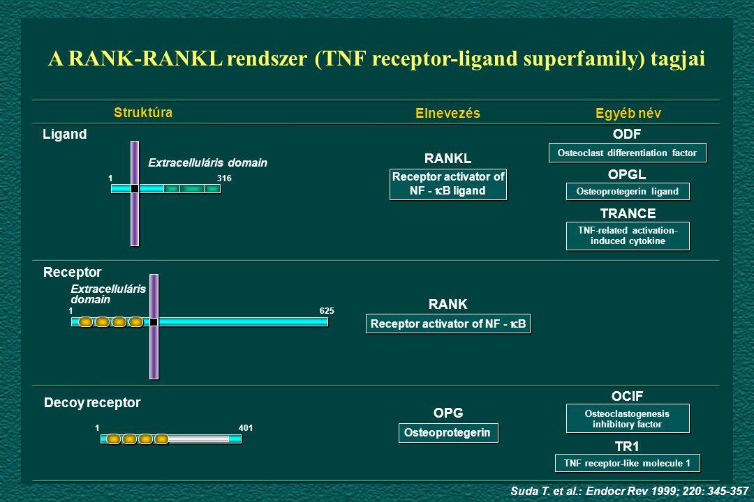 Struktúra ElnevezésEgyéb név Ligand Receptor Decoy receptor Extracelluláris domain RANKL RANK OPG 3161 1625 1401 ODF OPGL TRANCE OCIF TR1 A RANK-RANKL rendszer (TNF receptor-ligand superfamily) tagjai Suda T.