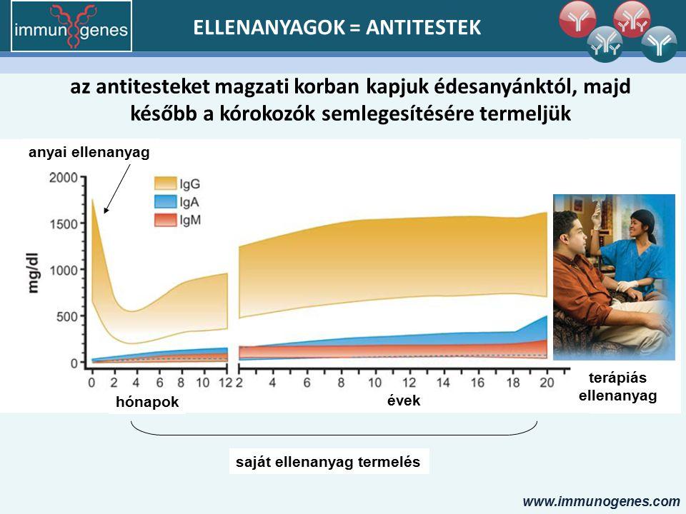 www.immunogenes.com ELLENANYAGOK = ANTITESTEK az antitesteket magzati korban kapjuk édesanyánktól, majd később a kórokozók semlegesítésére termeljük hónapok évek anyai ellenanyag saját ellenanyag termelés terápiás ellenanyag