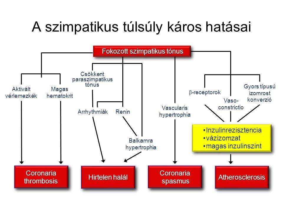 Fokozott szimpatikus tónus Fokozott szimpatikus tónus Vaso- constrictio Gyors típusú izomrost konverzió  -receptorok Inzulinrezisztencia vázizomzat magas inzulinszint Inzulinrezisztencia vázizomzat magas inzulinszint AtherosclerosisAtherosclerosis Vascularis hypertrophia Coronaria spasmus spasmus Coronaria spasmus spasmus Csökkent paraszimpatikus tónus Renin Balkamra hypertrophia Arrhythmiák Hirtelen halál Aktivált vérlemezkék Magas hematokrit CoronariathrombosisCoronariathrombosis A szimpatikus túlsúly káros hatásai