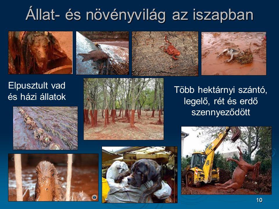 10 Állat- és növényvilág az iszapban Elpusztult vad és házi állatok Több hektárnyi szántó, legelő, rét és erdő szennyeződött