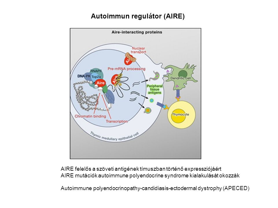 Autoimmun regulátor (AIRE) AIRE felelős a szöveti antigének tímuszban történő expressziójáért AIRE mutációk autoimmune polyendocrine syndrome kialakulását okozzák Autoimmune polyendocrinopathy-candidiasis-ectodermal dystrophy (APECED)
