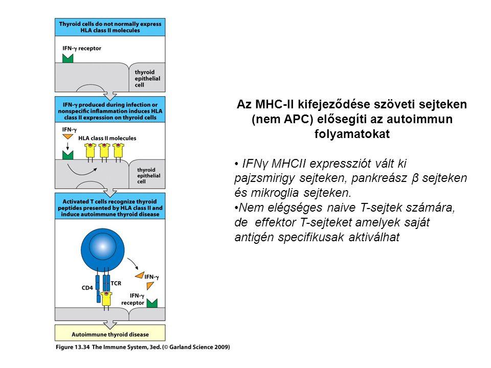 Az MHC-II kifejeződése szöveti sejteken (nem APC) elősegíti az autoimmun folyamatokat IFNγ MHCII expressziót vált ki pajzsmirigy sejteken, pankreász β sejteken és mikroglia sejteken.