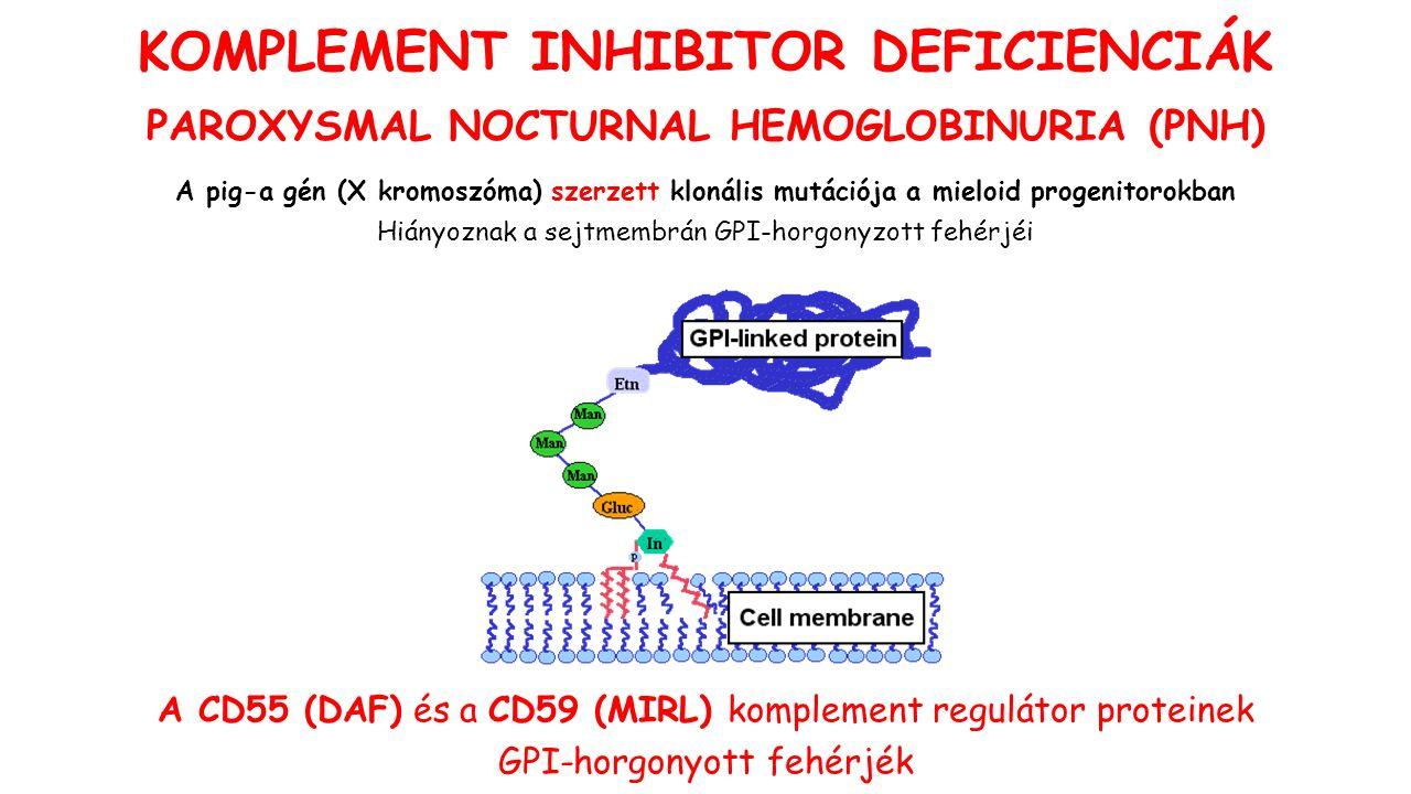 A pig-a gén (X kromoszóma) szerzett klonális mutációja a mieloid progenitorokban Hiányoznak a sejtmembrán GPI-horgonyzott fehérjéi A CD55 (DAF) és a CD59 (MIRL) komplement regulátor proteinek GPI-horgonyott fehérjék KOMPLEMENT INHIBITOR DEFICIENCIÁK PAROXYSMAL NOCTURNAL HEMOGLOBINURIA (PNH)