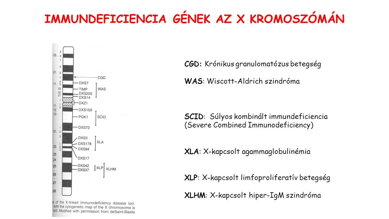(1 milló beteg az Egyesült Államokban)  A NADPH oxidáz mutációja – a 4 alegység bármelyike (gp91 X-kapcsolt) Gátolt és szuperoxid O2- gyökképződés  antibakteriális aktivitás gátolt Krónikus bakteriális (intracelluláris) és gombás fertőzések – granulóma képződés Aspergillus pneumonia, szeptikus arthritis, csontvelőgyulladás (osteomyelitis), cellulitis, impetigo.
