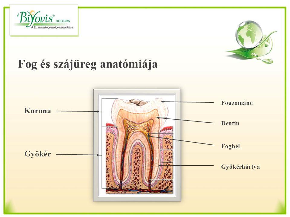 Fog és szájüreg anatómiája Korona Gyökér Fogzománc Dentin Fogbél Gyökérhártya