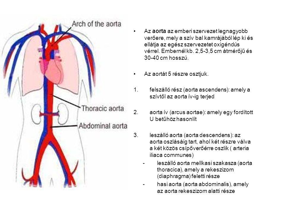 Az aorta az emberi szervezet legnagyobb verőere, mely a szív bal kamrájából lép ki és ellátja az egész szervezetet oxigéndús vérrel.