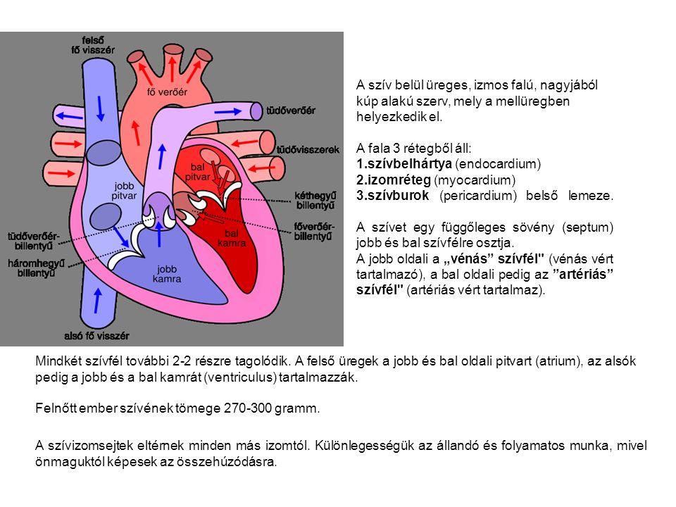 A szív belül üreges, izmos falú, nagyjából kúp alakú szerv, mely a mellüregben helyezkedik el.