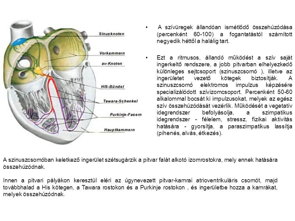 A szívüregek állandóan ismétlődő összehúzódása (percenként 60-100) a fogantatástól számított negyedik héttől a halálig tart.