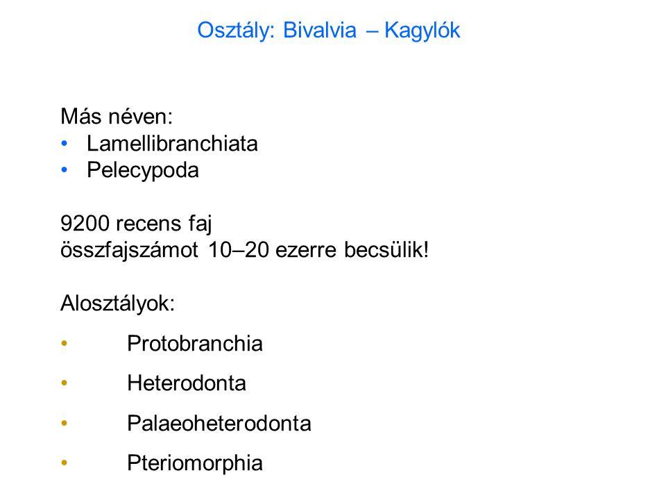 Mytilidae Mediterráneum: Mytilus galloprovincialis – fekete kagyló Ny-Európa: Mytilus edulis – ehető kékkagyló tenyésztés.