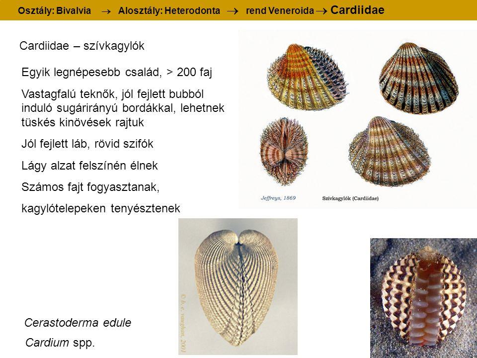 Osztály: Bivalvia  Alosztály: Heterodonta  rend Veneroida  Cardiidae Cardiidae – szívkagylók Egyik legnépesebb család, > 200 faj Vastagfalú teknők, jól fejlett bubból induló sugárirányú bordákkal, lehetnek tüskés kinövések rajtuk Jól fejlett láb, rövid szifók Lágy alzat felszínén élnek Számos fajt fogyasztanak, kagylótelepeken tenyésztenek Cardium spp.