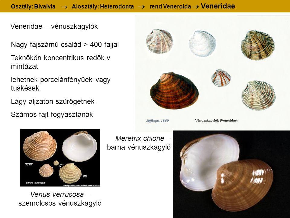 Osztály: Bivalvia  Alosztály: Heterodonta  rend Veneroida  Veneridae Veneridae – vénuszkagylók Meretrix chione – barna vénuszkagyló Nagy fajszámú család > 400 fajjal Teknőkön koncentrikus redők v.