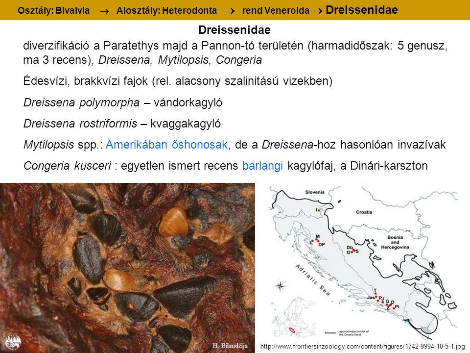diverzifikáció a Paratethys majd a Pannon-tó területén (harmadidőszak: 5 genusz, ma 3 recens), Dreissena, Mytilopsis, Congeria Édesvízi, brakkvízi fajok (rel.