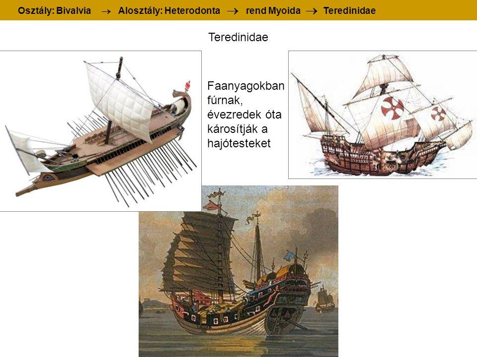 Teredinidae Osztály: Bivalvia  Alosztály: Heterodonta  rend Myoida  Teredinidae Faanyagokban fúrnak, évezredek óta károsítják a hajótesteket