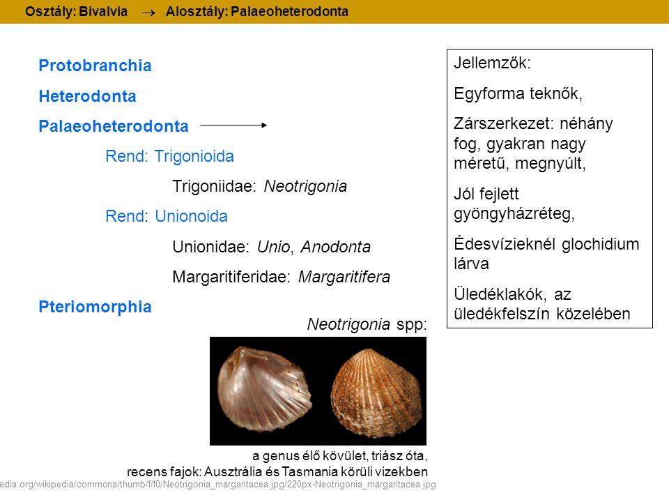 Protobranchia Heterodonta Palaeoheterodonta Rend: Trigonioida Trigoniidae: Neotrigonia Rend: Unionoida Unionidae: Unio, Anodonta Margaritiferidae: Margaritifera Pteriomorphia Osztály: Bivalvia  Alosztály: Palaeoheterodonta Jellemzők: Egyforma teknők, Zárszerkezet: néhány fog, gyakran nagy méretű, megnyúlt, Jól fejlett gyöngyházréteg, Édesvízieknél glochidium lárva Üledéklakók, az üledékfelszín közelében Neotrigonia spp: a genus élő kövület, triász óta, recens fajok: Ausztrália és Tasmania körüli vizekben http://upload.wikimedia.org/wikipedia/commons/thumb/f/f0/Neotrigonia_margaritacea.jpg/220px-Neotrigonia_margaritacea.jpg