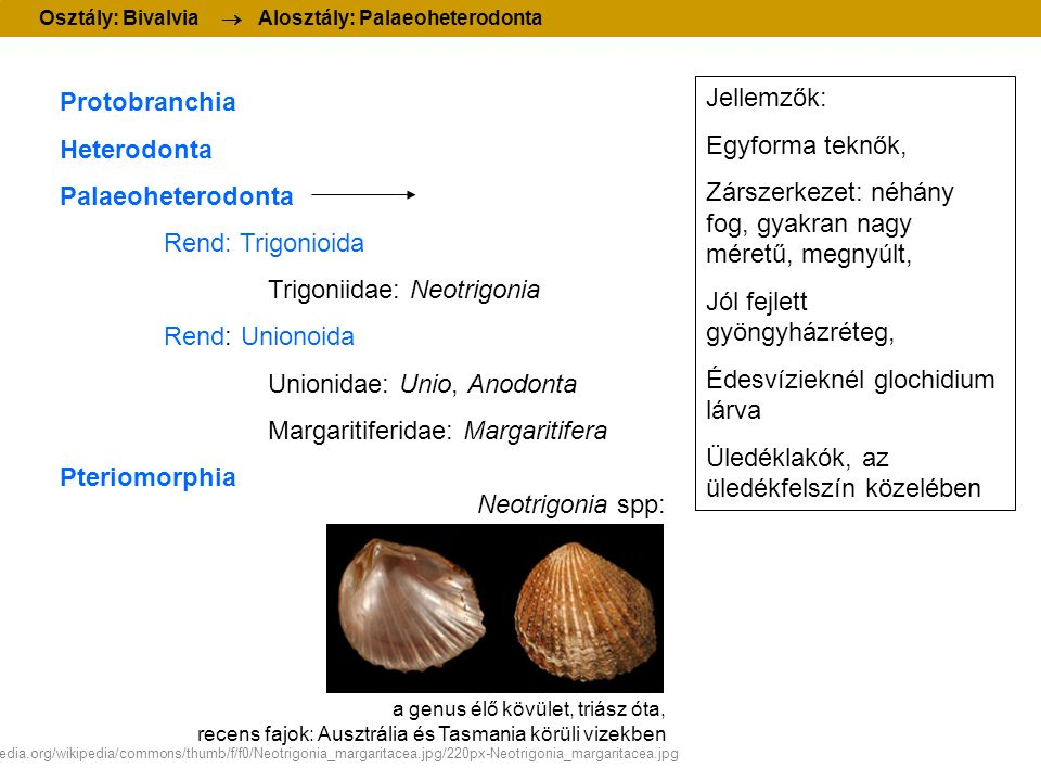 Protobranchia Heterodonta Palaeoheterodonta Rend: Trigonioida Trigoniidae: Neotrigonia Rend: Unionoida Unionidae: Unio, Anodonta Margaritiferidae: Mar