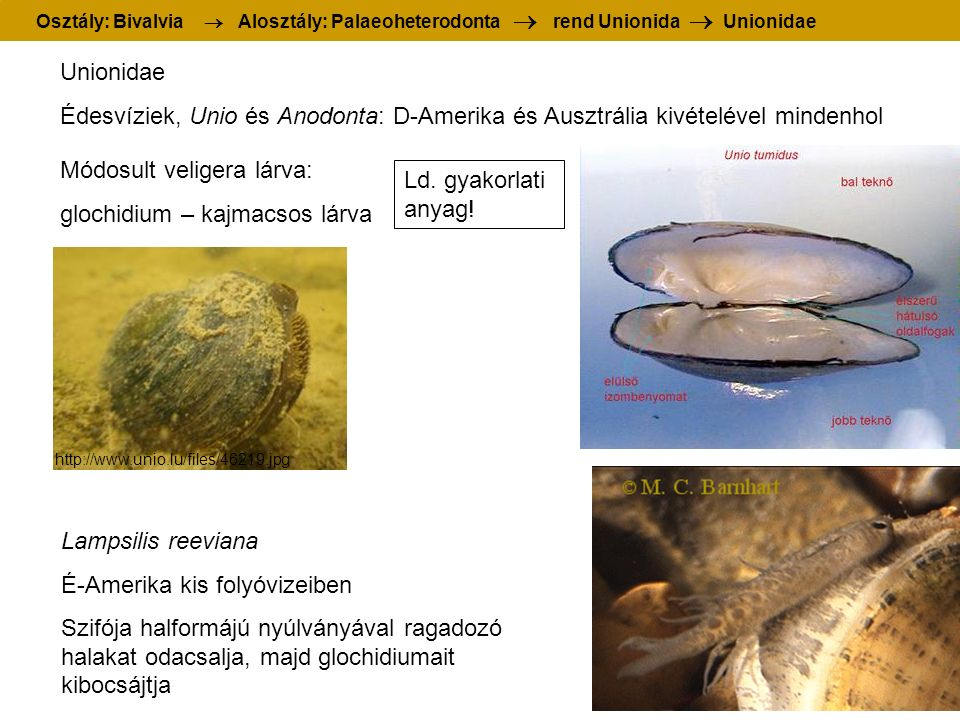 Unionidae Édesvíziek, Unio és Anodonta: D-Amerika és Ausztrália kivételével mindenhol Lampsilis reeviana É-Amerika kis folyóvizeiben Szifója halformájú nyúlványával ragadozó halakat odacsalja, majd glochidiumait kibocsájtja Módosult veligera lárva: glochidium – kajmacsos lárva Osztály: Bivalvia  Alosztály: Palaeoheterodonta  rend Unionida  Unionidae http://www.unio.lu/files/46219.jpg Ld.
