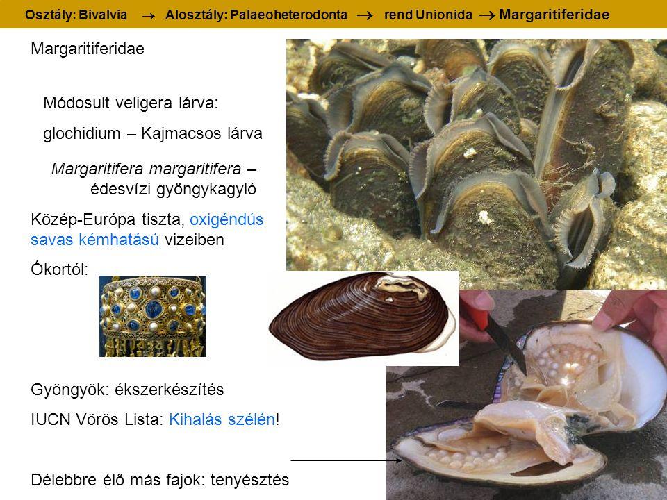 Margaritifera margaritifera – édesvízi gyöngykagyló Margaritiferidae Módosult veligera lárva: glochidium – Kajmacsos lárva Közép-Európa tiszta, oxigén
