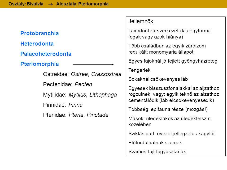 Protobranchia Heterodonta Palaeoheterodonta Pteriomorphia Ostreidae: Ostrea, Crassostrea Pectenidae: Pecten Mytilidae: Mytilus, Lithophaga Pinnidae: Pinna Pteriidae: Pteria, Pinctada Osztály: Bivalvia  Alosztály: Pteriomorphia Jellemzők: Taxodont zárszerkezet (kis egyforma fogak vagy azok hiánya) Több családban az egyik záróizom redukált: monomyaria állapot Egyes fajoknál jó fejlett gyöngyházréteg Tengeriek Sokaknál csökevényes láb Egyesek bisszuszfonalakkal az aljzathoz rögzülnek, vagy: egyik teknő az alzathoz cementálódik (láb elcsökevényesedik) Többség: epifauna része (mozgás!) Mások: üledéklakók az üledékfelszín közelében Sziklás parti övezet jellegzetes kagylói Előfordulhatnak szemek Számos fajt fogyasztanak