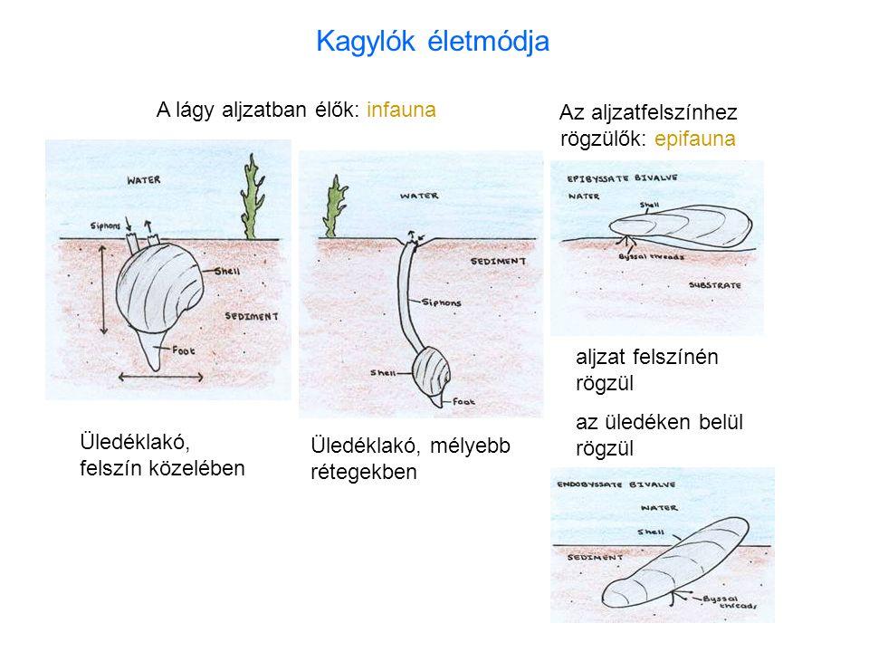 Üledéklakó, felszín közelében Üledéklakó, mélyebb rétegekben A lágy aljzatban élők: infauna Az aljzatfelszínhez rögzülők: epifauna aljzat felszínén rögzül az üledéken belül rögzül Kagylók életmódja