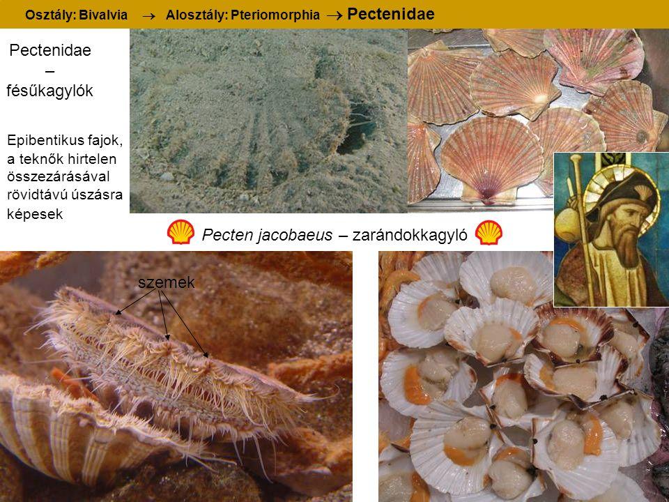 Pectenidae – fésűkagylók Pecten jacobaeus – zarándokkagyló Osztály: Bivalvia  Alosztály: Pteriomorphia  Pectenidae szemek Epibentikus fajok, a teknők hirtelen összezárásával rövidtávú úszásra képesek