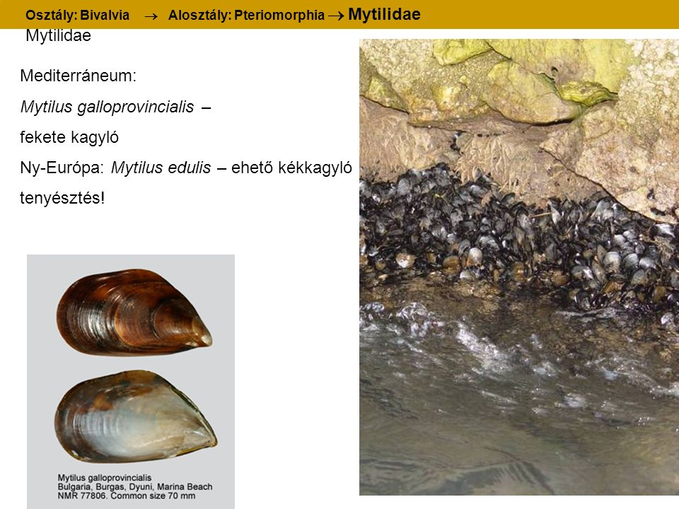 Mytilidae Mediterráneum: Mytilus galloprovincialis – fekete kagyló Ny-Európa: Mytilus edulis – ehető kékkagyló tenyésztés! Osztály: Bivalvia  Alosztá