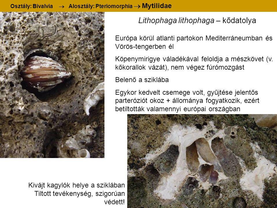 Lithophaga lithophaga – kődatolya Osztály: Bivalvia  Alosztály: Pteriomorphia  Mytilidae Kivájt kagylók helye a sziklában Tiltott tevékenység, szigo