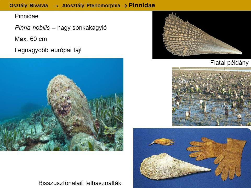 Pinnidae Pinna nobilis – nagy sonkakagyló Max. 60 cm Legnagyobb európai faj! Bisszuszfonalait felhasználták: Fiatal példány Osztály: Bivalvia  Aloszt