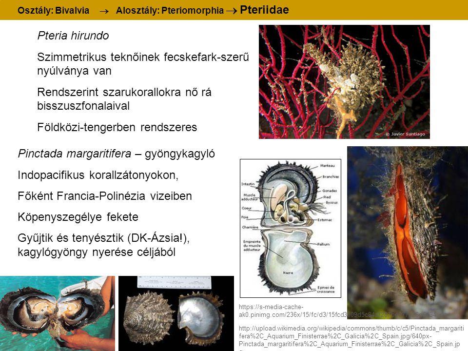 Osztály: Bivalvia  Alosztály: Pteriomorphia  Pteriidae Pteria hirundo Szimmetrikus teknőinek fecskefark-szerű nyúlványa van Rendszerint szarukorallo