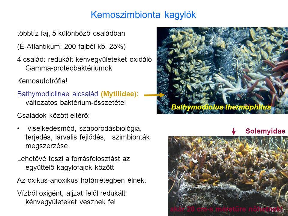 Kemoszimbionta kagylók többtíz faj, 5 különböző családban (É-Atlantikum: 200 fajból kb. 25%) 4 család: redukált kénvegyületeket oxidáló Gamma-proteoba