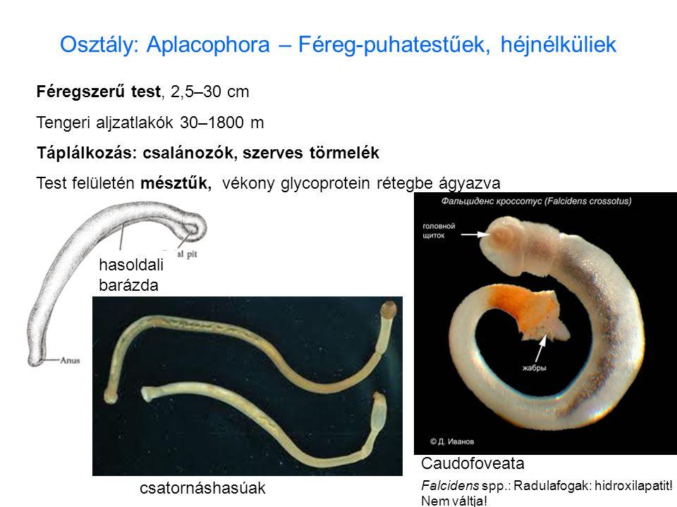 Osztály: Aplacophora – Féreg-puhatestűek, héjnélküliek Féregszerű test, 2,5–30 cm Tengeri aljzatlakók 30–1800 m Táplálkozás: csalánozók, szerves törme