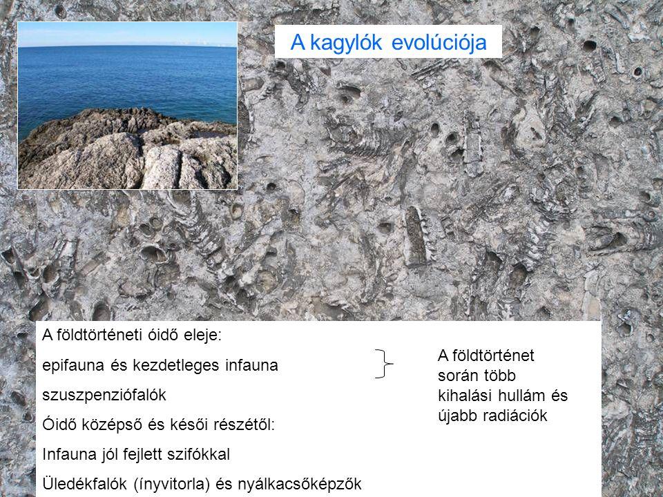 A földtörténeti óidő eleje: epifauna és kezdetleges infauna szuszpenziófalók Óidő középső és késői részétől: Infauna jól fejlett szifókkal Üledékfalók (ínyvitorla) és nyálkacsőképzők A földtörténet során több kihalási hullám és újabb radiációk A kagylók evolúciója