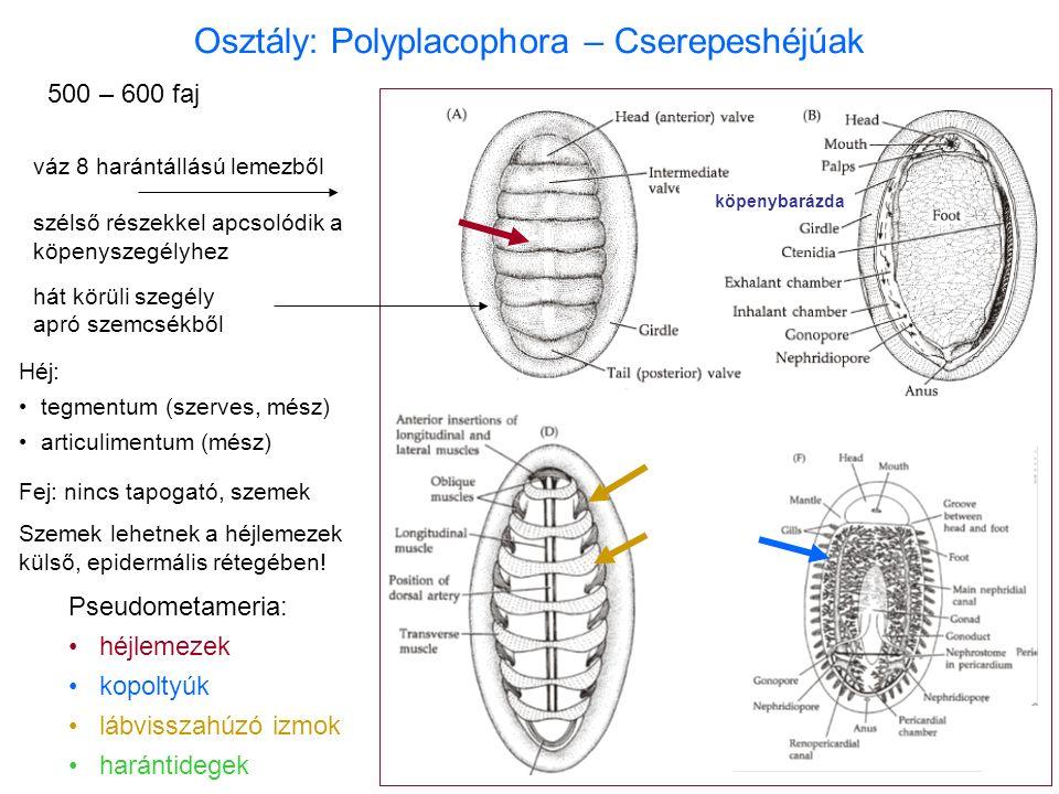 Osztály: Polyplacophora – Cserepeshéjúak Pseudometameria: héjlemezek kopoltyúk lábvisszahúzó izmok harántidegek 500 – 600 faj váz 8 harántállású lemezből szélső részekkel apcsolódik a köpenyszegélyhez hát körüli szegély apró szemcsékből Fej: nincs tapogató, szemek Szemek lehetnek a héjlemezek külső, epidermális rétegében.