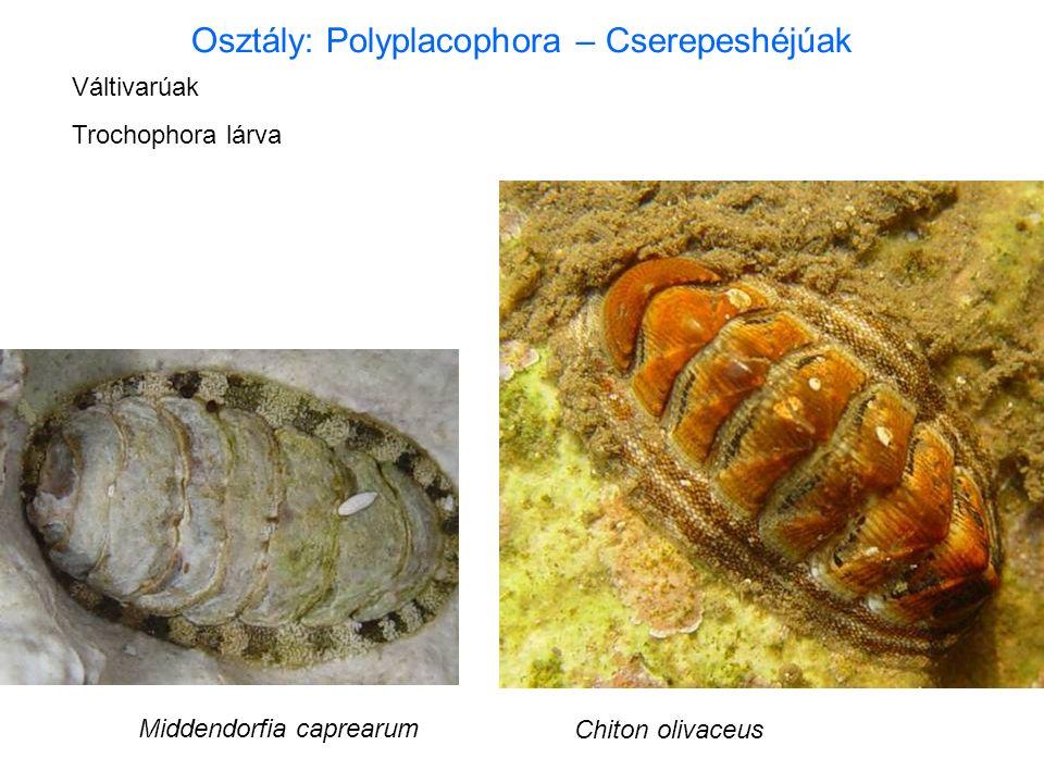 Osztály: Polyplacophora – Cserepeshéjúak Váltivarúak Trochophora lárva Middendorfia caprearum Chiton olivaceus
