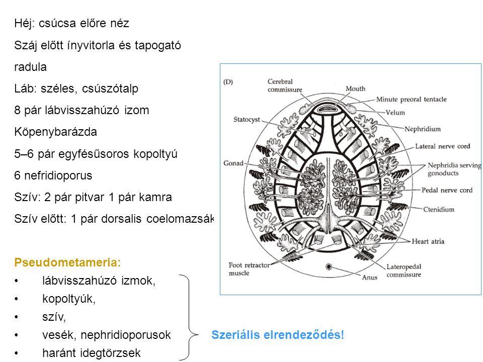 Héj: csúcsa előre néz Száj előtt ínyvitorla és tapogató radula Láb: széles, csúszótalp 8 pár lábvisszahúzó izom Köpenybarázda 5–6 pár egyfésűsoros kopoltyú 6 nefridioporus Szív: 2 pár pitvar 1 pár kamra Szív előtt: 1 pár dorsalis coelomazsák Pseudometameria: lábvisszahúzó izmok, kopoltyúk, szív, vesék, nephridioporusok haránt idegtörzsek Szeriális elrendeződés!