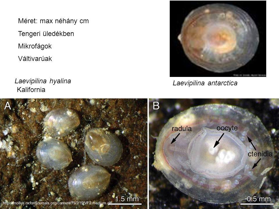 Laevipilina antarctica Laevipilina hyalina http://mollus.oxfordjournals.org/content/75/2/195/F2.medium.gif Kalifornia Méret: max néhány cm Tengeri üledékben Mikrofágok Váltivarúak