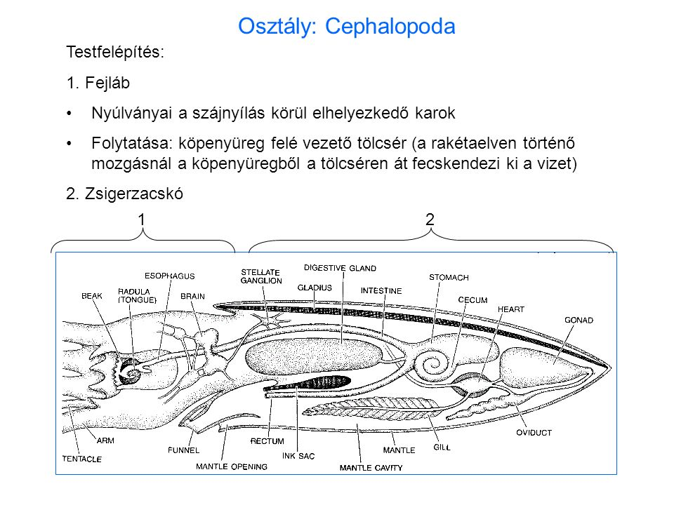 Testfelépítés: 1. Fejláb Nyúlványai a szájnyílás körül elhelyezkedő karok Folytatása: köpenyüreg felé vezető tölcsér (a rakétaelven történő mozgásnál