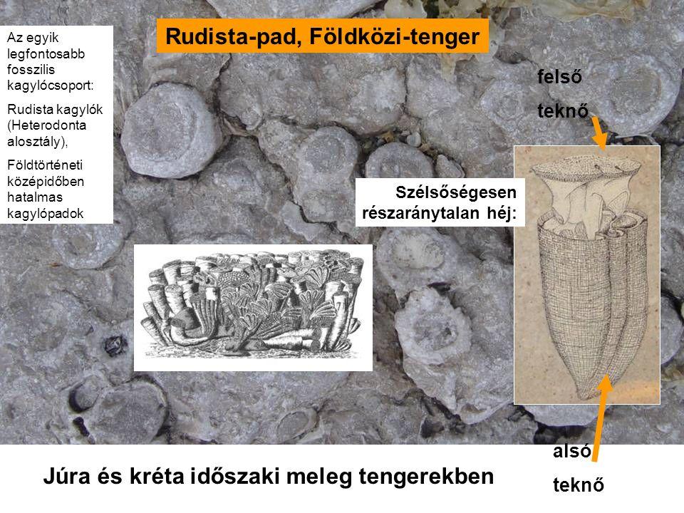 Rudista-pad, Földközi-tenger felső teknő alsó teknő Júra és kréta időszaki meleg tengerekben Szélsőségesen részaránytalan héj: Az egyik legfontosabb fosszilis kagylócsoport: Rudista kagylók (Heterodonta alosztály), Földtörténeti középidőben hatalmas kagylópadok