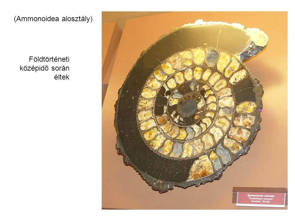 (Ammonoidea alosztály) Földtörténeti középidő során éltek