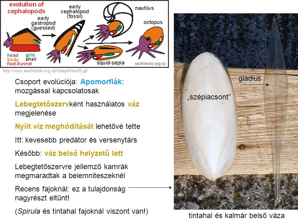 Csoport evolúciója: Apomorfiák: mozgással kapcsolatosak Lebegtetőszervként használatos váz megjelenése Nyílt víz meghódítását lehetővé tette Itt: keve